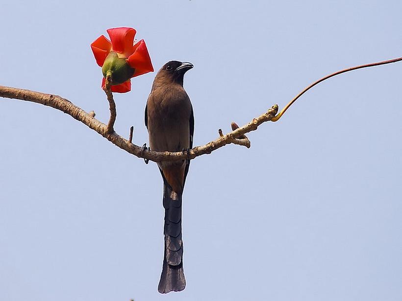 木棉花上的树鹊